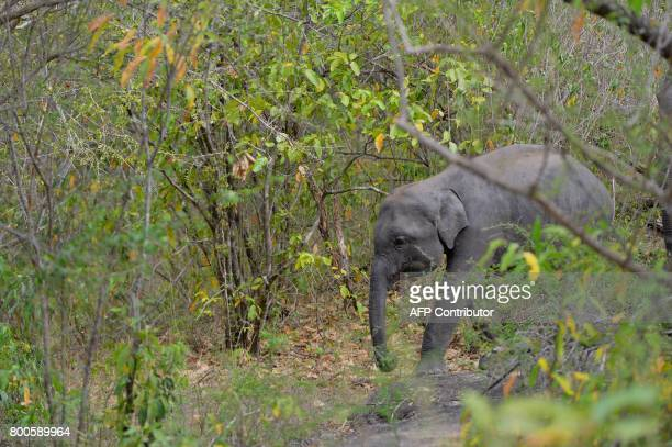 In this photo taken on June 24 a Sri Lankan elephant walks through a field in Minneriya National Park The Sri Lankan elephant is one of three...