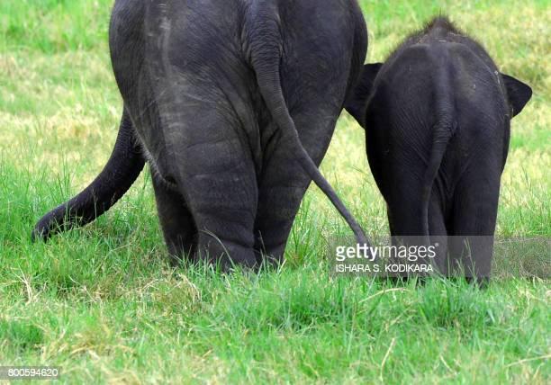 In this photo taken on June 24 Sri Lankan elephants walk through a field in Minneriya National Park The Sri Lankan elephant is one of three...