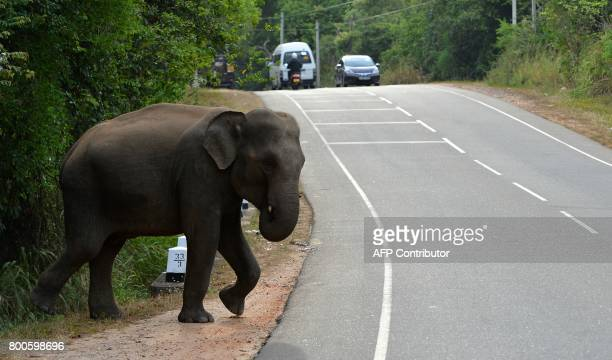 In this photo taken on June 24 Sri Lankan elephants walk through a road in Minneriya National Park The Sri Lankan elephant is one of three recognised...