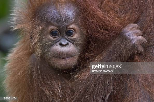 In this photograph taken on April 10 an endangered baby Sumatran orangutan clings onto her mother's waist in the forest of Bukit Lawang part of the...