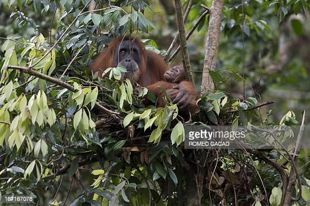In this photograph taken on April 10 an endangered orangutan holds her baby on a nest in the forest of Bukit Lawang within the protected Gunung...