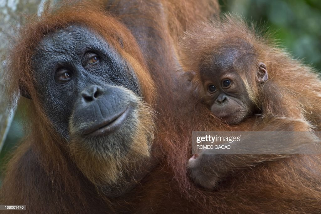 In this photograph taken on April 10, 2013, an endangered Sumatran orangutan with a baby clings on tree branches in the forest of Bukit Lawang, part of the vast Leuser National Park, its rainforests occupying areas of the two provinces of North Sumatra and Aceh located in Indonesia's Sumatra island. Alarm is growing at a plan that would open up new swathes of forest on Sumatra island to mining, palm oil and paper companies, which could put orangutans and other critically endangered species at even greater risk.