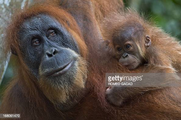In this photograph taken on April 10 an endangered Sumatran orangutan with a baby clings on tree branches in the forest of Bukit Lawang part of the...