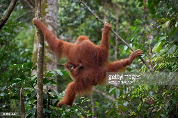 In this photograph taken on April 10 an endangered Sumatran orangutan with a baby holding onto her clings on tree branches in the forest of Bukit...