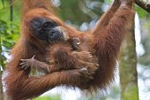 In this photograph taken on April 10 an endangered Sumatran orangutan with a baby clings onto tree branches in the forest of Bukit Lawang part of the...