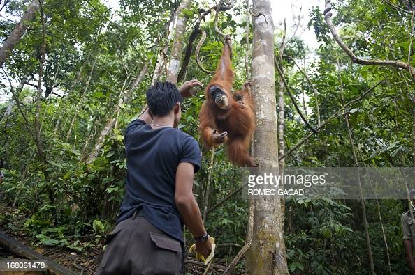In this photograph taken on April 10 an Indonesian forest ranger feeds an endangered Sumatran orangutan with a baby in the forest of Bukit Lawang...