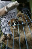 In this photograph taken on April 14 a member of Indonesia's Nature Conservation Agency seizes an endangered slow loris from a pet owner in Banda...
