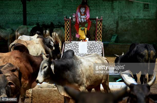 In this photograph taken on April 24 a statue of the Hindu god Lord Krishna is seen at a cow shelter in the Indian capital New Delhi India could...