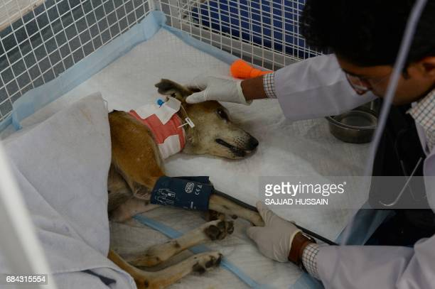 In this photograph taken on April 24 an Indian vet checks the blood pressure of pet dog Chabhi before performing dialysis treatment at the Renalvet...