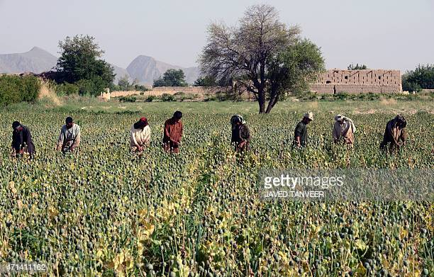 In this photograph taken on April 27 Afghan farmers harvest opium sap from a poppy field in Panjwai District in Kandahar province AFP PHOTO /Javed...