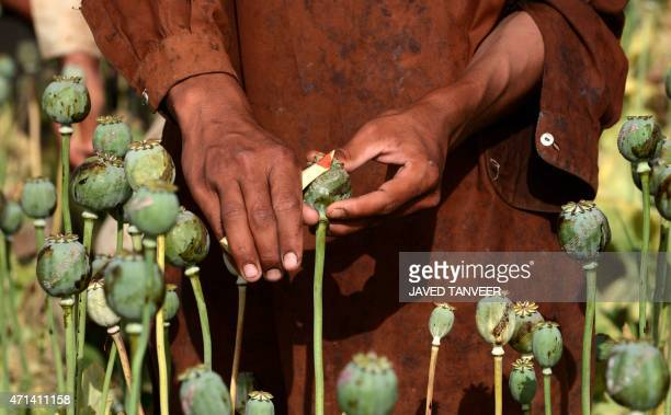In this photograph taken on April 27 an Afghan farmer harvests opium sap from a poppy field in Panjwai District in Kandahar province AFP PHOTO /Javed...