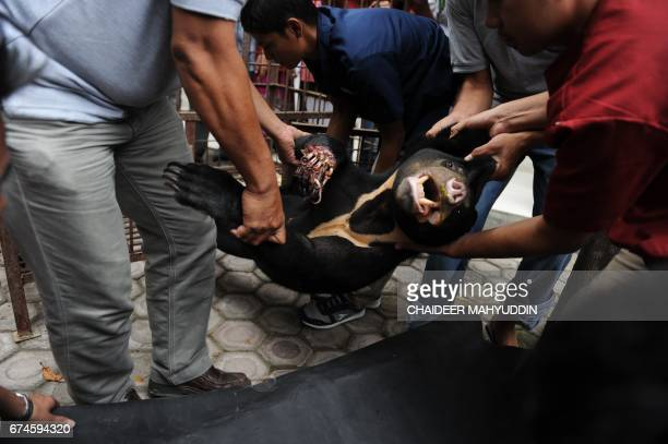 In this photograph taken on April 28 2017 a wounded honey bear which was entangled by a wildboar trap arrives at a hospital in Banda Aceh Aceh...