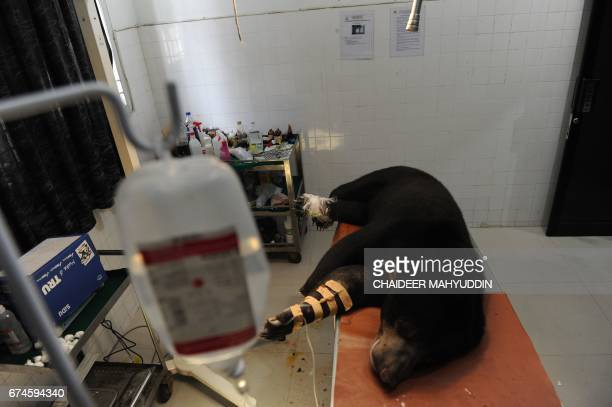 In this photograph taken on April 28 2017 a wounded honey bear which was entangled by a wildboar trap is treated at a hospital in Banda Aceh Aceh...