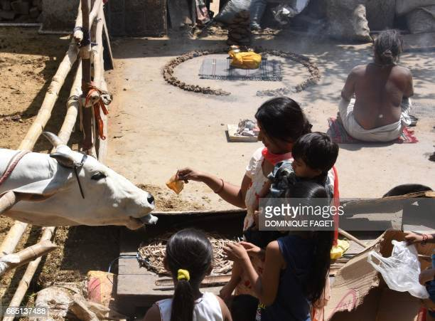 In this photograph taken on April 4 an Indian devotee offers food to a cow during the Ram Navami festival at the Shri Ram Hanuman Vatika temple in...