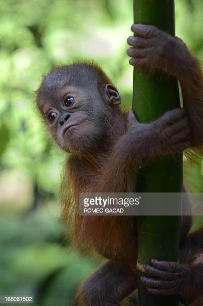 In this photograph taken on April 8 a rescued baby male Sumatran orangutan named 'Gokong Puntung' after the Chinese monkey God whose mother was...