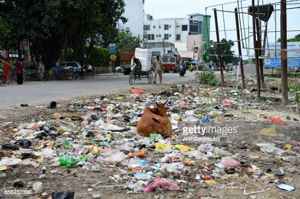 In this photograph taken on August 20 a cow lays down amongst garbage along a road in Gonda district in the Indian state of Uttar Pradesh Flies...