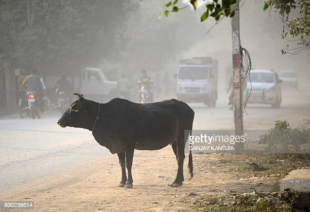 In this photograph taken on December 15 a cow stands on dust beside a road as traffic passes by in Allahabad According to local newspaper reports the...