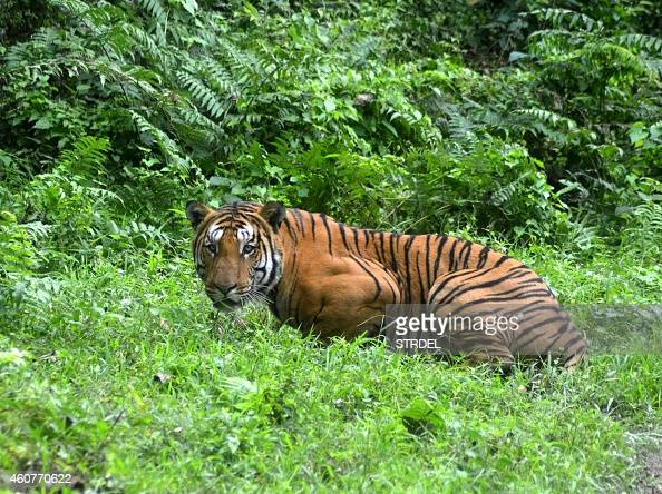 In this photograph taken on December 21 a Royal Bengal Tiger pauses in a jungle clearing in Kaziranga National Park some 280kms east of Guwahati...
