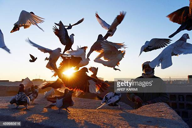 In this photograph taken on December 4 Afghan pigeon fancier Abas Aqa feeds his birds as some take flight on the rooftop of his residence in Herat...