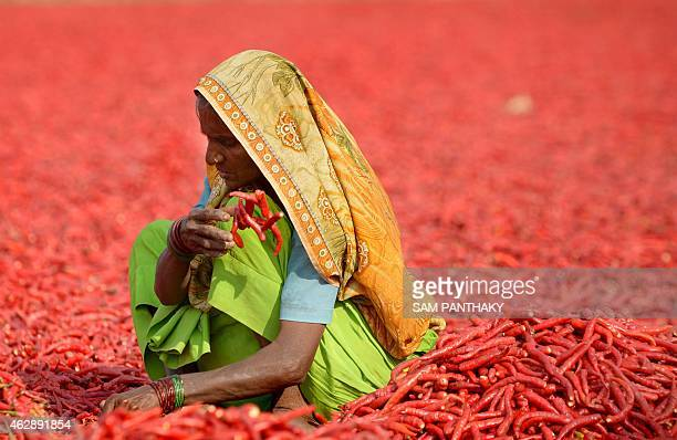 In this photograph taken on February 6 an Indian farm labourer dries newlyarrived chillies at a farm in Sertha some 25 kms from Ahmedabad Farm owner...