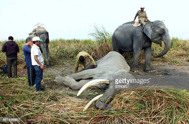 In this photograph taken on January 8 Indian forest officials examine the body of a 73yearold elephant at the Kaziranga National Park some 220...