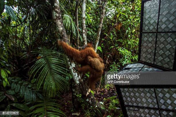 In this photograph taken on July 13 a mother orangutan and her baby climb a tree after being released at Leuser National park in Aceh province during...