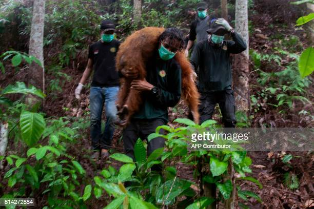 In this photograph taken on July 13 an official of Orangutan Information Center carries an anaesthetized orangutan in Aceh Tamiang Aceh province...