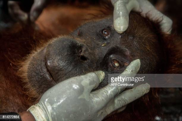 In this photograph taken on July 13 officials of Orangutan Information Center conduct a medical checkup on an anaesthetized orangutan in Aceh Tamiang...