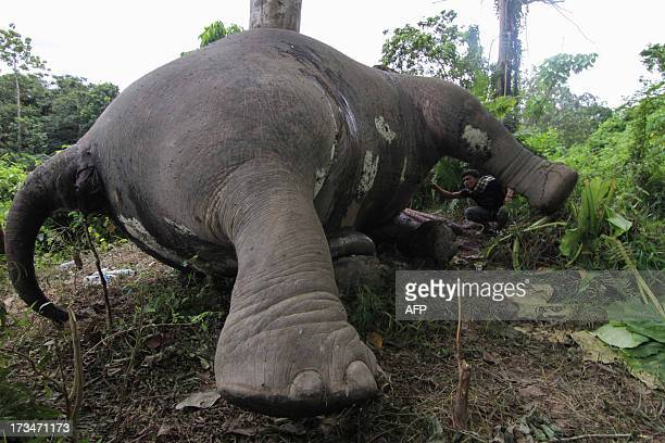 In this photograph taken on July 14 a resident looks at the carcass of a male Sumatran elephant its head and trunks mutilated and ivory tusks missing...