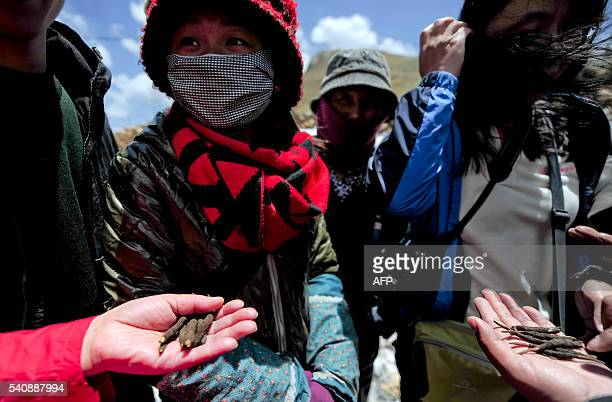 In this photograph taken on June 1 Chinese residents pose for a photograph with the parasitic fungus Cordyceps sinensis to be sold in Gannan in...