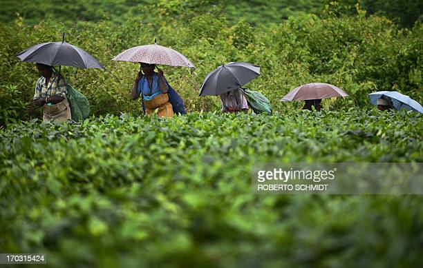In this photograph taken on June 6 Indian women use umbrellas to shield themselves from rain as they walk next to a large field of tea shrubs at a...