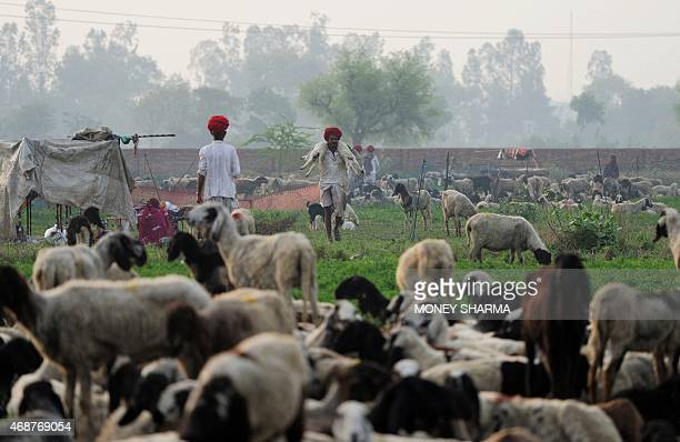 In this photograph taken on March 25 Indian nomadic shepherd Lassa Ram carries sheep through his herd at his family's camp in Sikri in Faridabad...