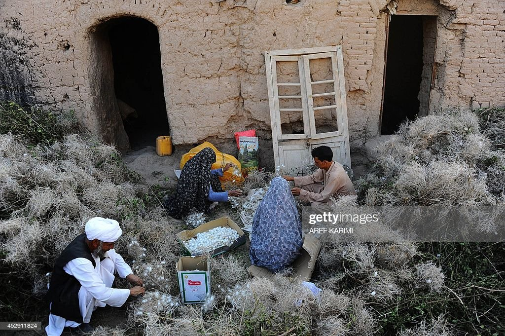 In this photograph taken on May 22, 2014, an Afghan family collects cocoons from dried mulberry leaves in Zandajan district of Herat province. Once a stop along the Silk Road trade route, western Afghanistan has a long tradition of producing silk used to weave carpets, a process that dates back thousands of years. Carpets are Afghanistan's best-known export, woven mostly by women and children in the north of the country, a trade which once employed, directly or indirectly, six million people, or a fifth of the country's population, although that figure has dropped sharply. In cooperation with a non-profit organisation the Department of Agriculture in Herat provided some 5,050 silkworm boxes to several districts at the beginning of 2014 to revive silk production in the region. Some 42,500 women and their families are involved in the project which aims to provide a means of subsistence and potentially lead to international market access for silk producers in the country. The popular wool and silk Afghan carpets made by different tribes can sell for a price that can range between 150 USD to thousands of dollars. AFP PHOTO/Aref Karimi