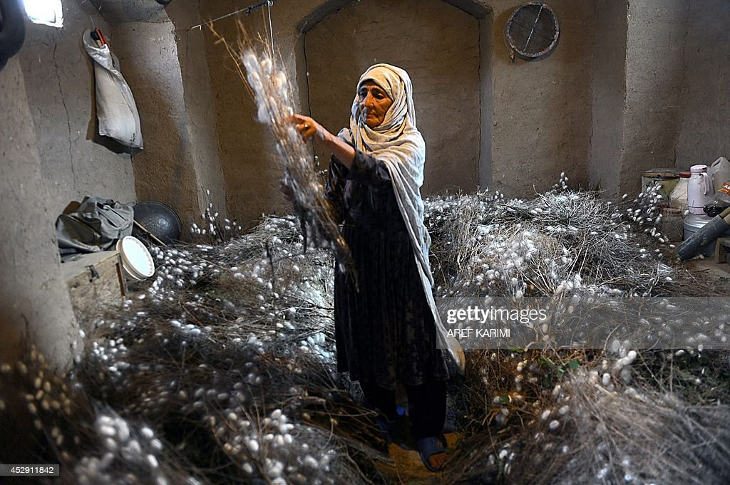 In this photograph taken on May 22, 2014, an Afghan worker collects a cocoon from dried mulberry leaves in Zandajan district of Herat province. Once a stop along the Silk Road trade route, western Afghanistan has a long tradition of producing silk used to weave carpets, a process that dates back thousands of years. Carpets are Afghanistan's best-known export, woven mostly by women and children in the north of the country, a trade which once employed, directly or indirectly, six million people, or a fifth of the country's population, although that figure has dropped sharply. In cooperation with a non-profit organisation the Department of Agriculture in Herat provided some 5,050 silkworm boxes to several districts at the beginning of 2014 to revive silk production in the region. Some 42,500 women and their families are involved in the project which aims to provide a means of subsistence and potentially lead to international market access for silk producers in the country. The popular wool and silk Afghan carpets made by different tribes can sell for a price that can range between 150 USD to thousands of dollars. AFP PHOTO/Aref Karimi