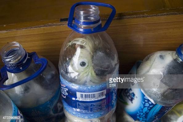 In this photograph taken on May 4 2015 shows rare Indonesian yellowcrested cockatoos placed inside water bottles confiscated from alleged wildlife...