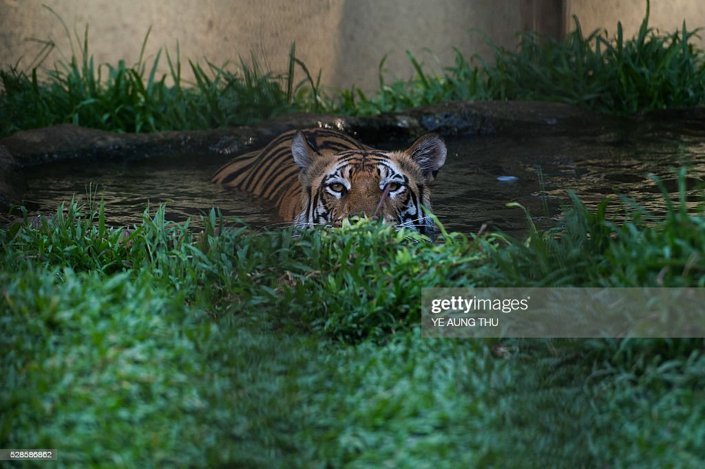 In this photograph taken on May 4, 2016, a tiger rests in a pool of water in Yangon zoo enclosure while summer temperature rise. Latest media reports indicates parts of the country experiencing partial drought while temperatures hit over 40 degrees celsius in certain areas of Myanmar. The Meteorology and Hydrology Department has predicted that Myanmar will experience drought and record high temperatures following the effects of El Ni��o in March, April and May. / AFP / YE