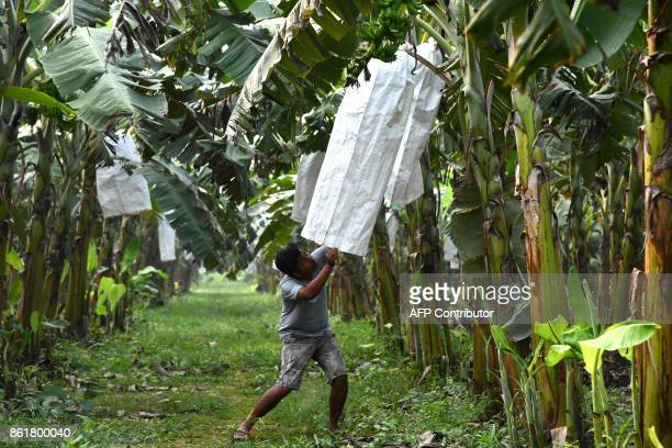 In this photograph taken on October 15 Indian farmer Debabrat Rabha inspects his banana crop in Madang village near the Daranggiri banana market in...