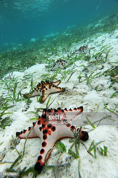 In this photograph taken on October 22 2011 starfish lay on a bed of sea grass in the waters of Raja Ampat's Mansuar Island located in eastern...