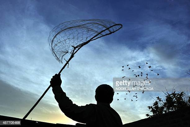 In this photograph taken on October 22 Afghan pigeon fancier Habibullah looks on as his birds take flight at his home on the outskirts of Jalalabad...