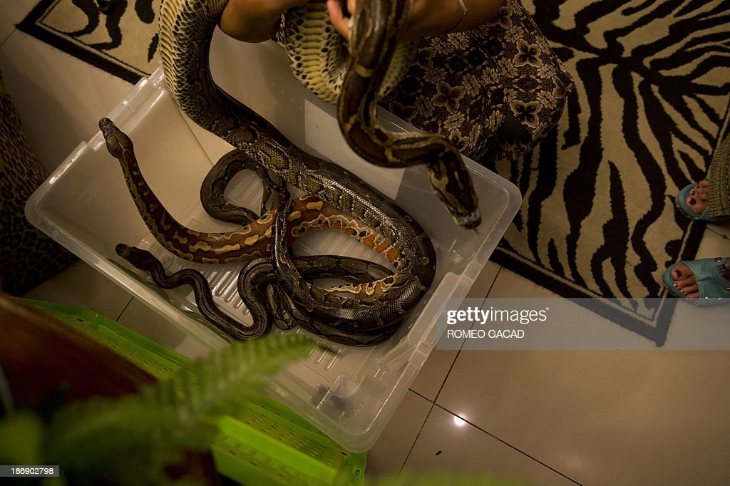 In this photograph taken on October 30, 2013, a masseuse prepares pythons for a 'snake body massage' session at the Bali Heritage Reflexology and Spa located in the Indonesian capital city of Jakarta. Lying on a massage table at a spa in the Indonesian capital Jakarta, Feri Tilukay closed his eyes and smiled blissfully as three enormous snakes slithered all over him.