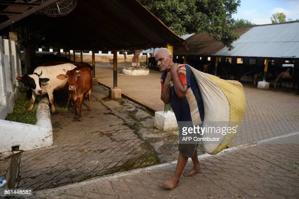 In this photograph taken September 1 2017 a worker carries straw for cows at a Britishera dairy farm opened in 1889 that is now run by the Indian...