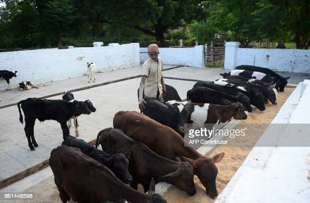 In this photograph taken September 1 2017 a worker stands next to calfs eating at a Britishera dairy farm opened in 1889 that is now run by the...