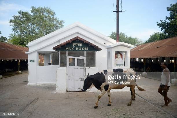 In this photograph taken September 1 2017 a worker walks with a cow at a Britishera dairy farm opened in 1889 that is now run by the Indian military...