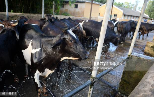 In this photograph taken September 1 2017 cows stand in an automated shower at a Britishera dairy farm opened in 1889 that is now run by the Indian...