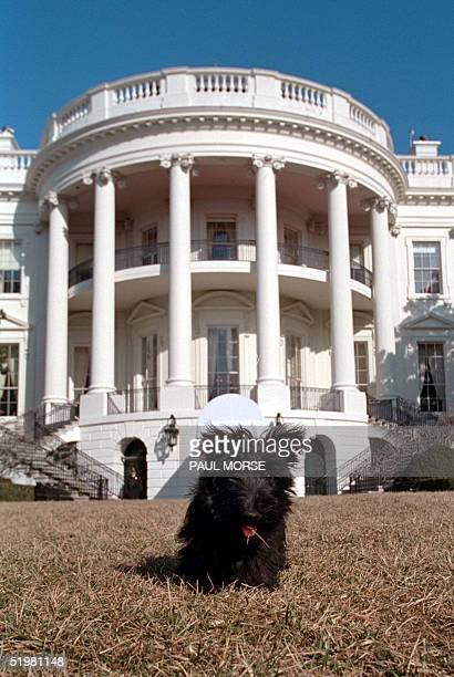 In this picture released 31 January 2001 by the US White House Barney a Scottish terrier sits on the south lawn of the White House 23 January 2001...