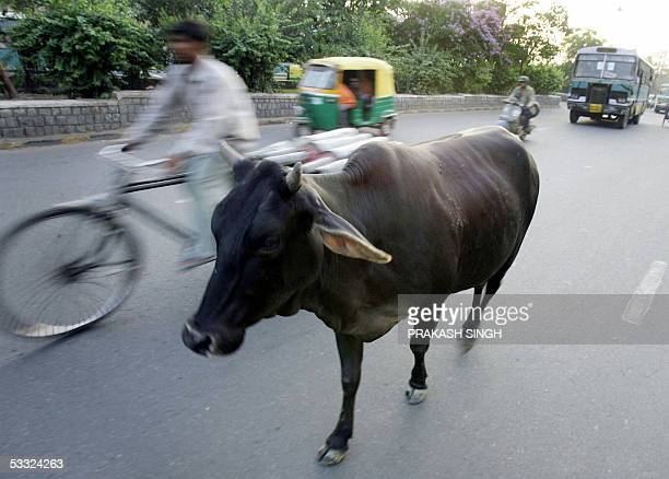 In this picture taken 02 May 2005an Indian cyclist passes a cow walking through the streets of New Delhi India's High Court disgusted by the failure...
