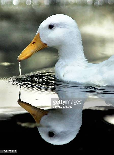 In this picture taken 03 June 2005 A duck quenches its thirst as it swims on a pond at the zoo in Islamabad Authorities shut down a zoo in the...
