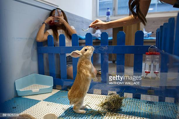 In this picture taken on August 16 a customer takes a photo as her friend offers food to a rabbit standing on its hind legs at the 'Rabbitland' cafe...