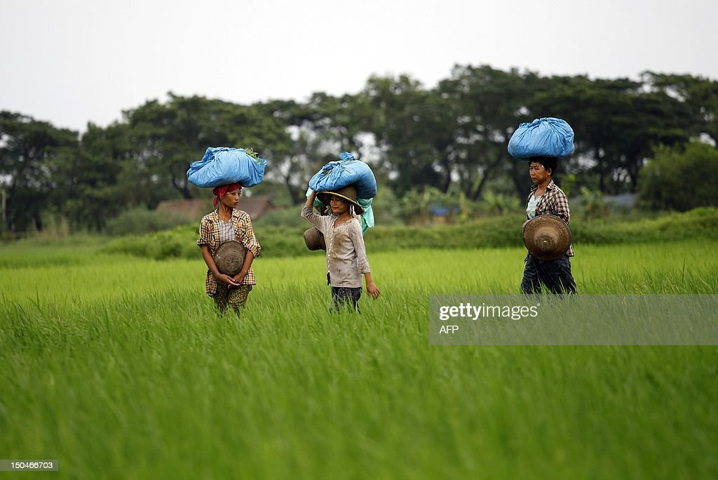 In this picture taken on August 17, 2012 Myanmar farmers collect paddy seedlings from flooded fields to replant in Ayeyawaddy Division of Myanmar outside Yangon. Recent heavy rains have flooded thousands of acres of paddy fields as seasonal monsoon rains hit the Ayeyawaddy delta region. AFP PHOTO/Ye Aung Thu
