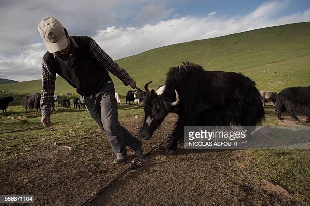 In this picture taken on July 27 a Tibetan nomad herder pulls a yak by its horn in Yushu county in the mountains of Qinghai province The number of...